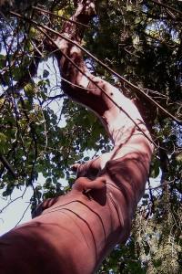 Island Tree - THE TEMPEST, Shakespeare's Brain